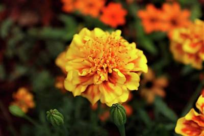 New Years - Marigold2 by Christopher James