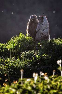 Irish Leprechauns - Marmot Pair Watching the Day End by Belinda Greb