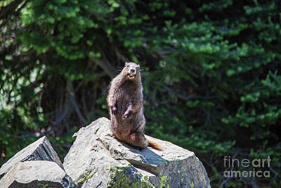 Animals Royalty-Free and Rights-Managed Images - Marmot posing with a smile by Jeff Swan
