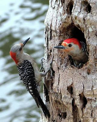 Animal Portraits - Meeting of the Mates Red Bellied Woodpeckers by Barbie Corbett-Newmin