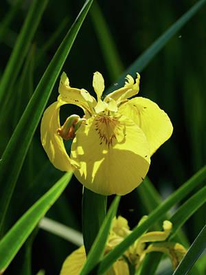 Colored Pencils - Meeting place. Yellow iris the Yellow fag 11 by Jouko Lehto