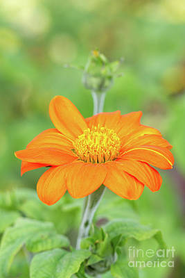 Photograph - Mexican Sunflower by Tanya C Smith