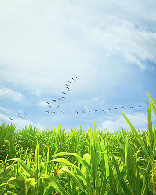 Animals Royalty-Free and Rights-Managed Images - Midsummer Cornfield by Bob Orsillo