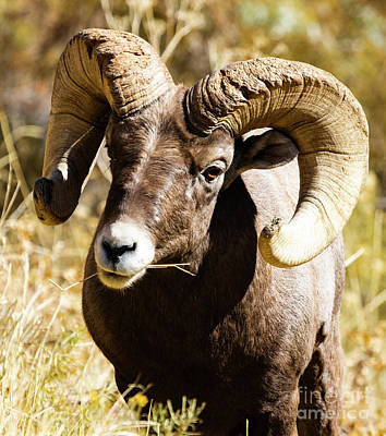 Steven Krull Royalty-Free and Rights-Managed Images - Mighty Ram Portrait by Steven Krull