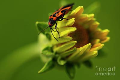 Old Masters Royalty Free Images - Milkweed Bug crawls on wildflower Royalty-Free Image by JT Lewis