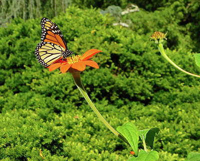 Old Masters - Monarch Beauty at Brookside Gardens by Emmy Marie Vickers
