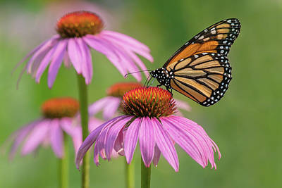 Classic Golf - Monarch Butterfly 2021 01 by Judy Tomlinson