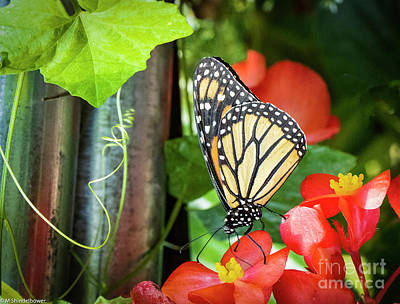 Celebrity Watercolors - Monarch Butterfly On Red Flower by Mitch Shindelbower