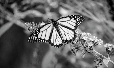 Royalty-Free and Rights-Managed Images - Monarch Butterfly Perched on Purple Flower in Close Up Photography_0004 by Celestial Images