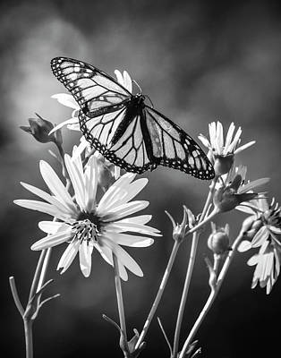 Royalty-Free and Rights-Managed Images - Monarch butterfly sitting on yellow flowers by Celestial Images