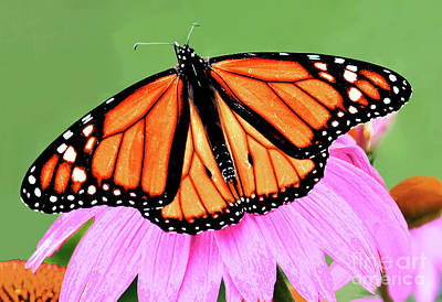 Vintage Automobiles - Monarch Male and Purple Coneflowers by Regina Geoghan