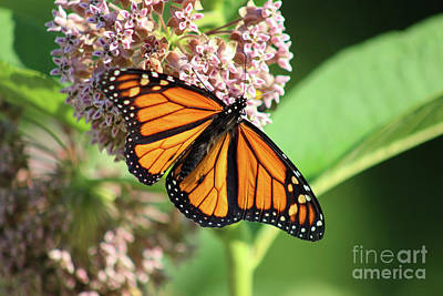 Watercolor Typographic Countries - Monarch Male on Milkweed 2020 by Karen Adams