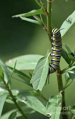 A White Christmas Cityscape - Monarch On Milkweed by Skip Willits