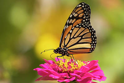 Advertising Archives - Monarch On Zinnia 2016-3 by Thomas Young