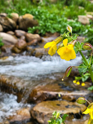 Antlers - Monkey Flower by Canyon Creek by Bonny Puckett