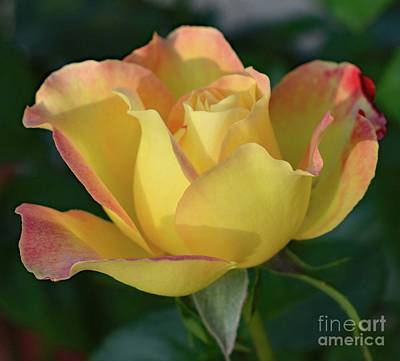 Aromatherapy Oils - Morning Delight - Rose by Cindy Treger