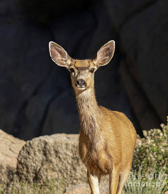 Steven Krull Royalty-Free and Rights-Managed Images - Morning Mule Deer by Steven Krull