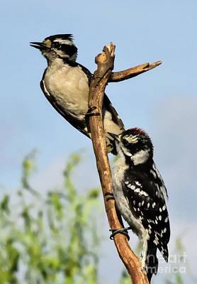 Studio Grafika Zodiac - Mother And Son Downy Woodpeckers by Cindy Treger