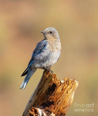Steven Krull Royalty-Free and Rights-Managed Images - Mountain Bluebird on Log by Steven Krull