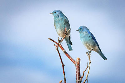 Farm Life Paintings Rob Moline - Mountain Bluebirds by Janis Knight