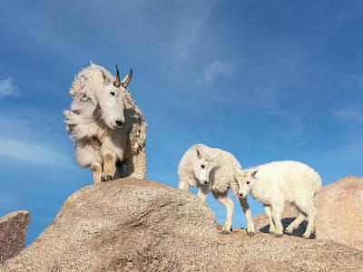 Classic Golf - Mountain Goat Family by Judi Dressler