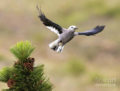Steven Krull Royalty-Free and Rights-Managed Images - Clarks Nutcracker in Flight by Steven Krull