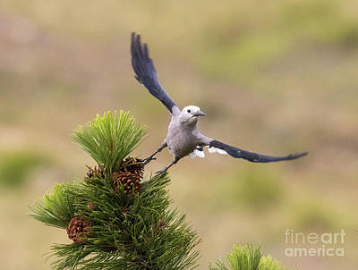 Steven Krull Royalty-Free and Rights-Managed Images - Clarks Nutcracker Taking Flight by Steven Krull