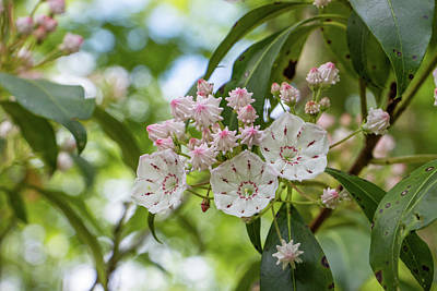 David Bowie Royalty Free Images - Mountain Laurel Blossoms Royalty-Free Image by Jeff Severson