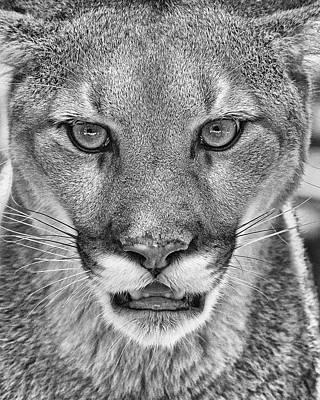 Photograph - Mountain Lion by Matt Cuda