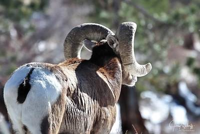 Jerry Sodorff Royalty-Free and Rights-Managed Images - Mountain Sheep DS by Jerry Sodorff