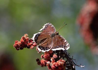 Farmhouse Rights Managed Images - Mourning Cloak Butterfly in Spring Royalty-Free Image by Marlin and Laura Hum