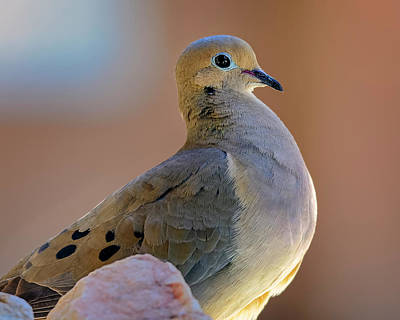 Mark Myhaver Photo Rights Managed Images - Mourning Dove h20831 Royalty-Free Image by Mark Myhaver
