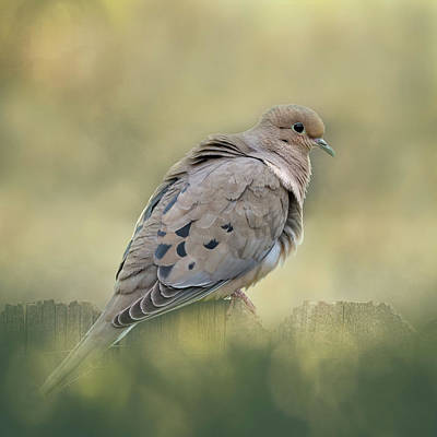 Keith Richards - Mourning Dove by Joan Carroll