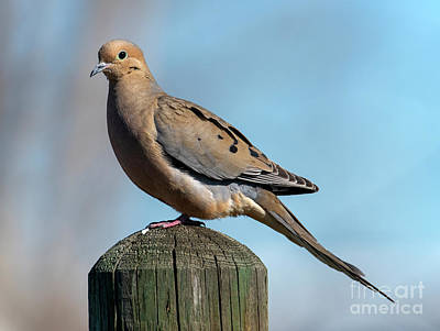 Royalty-Free and Rights-Managed Images - Mourning Dove by Mike Dawson