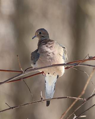 Wine Corks Royalty Free Images - Mourning Dove Portrait Royalty-Free Image by Marlin and Laura Hum