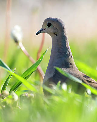 Photograph - Mourning Dove portrait on grass by Art Whitton