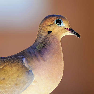 Mark Myhaver Photo Rights Managed Images - Mourning Dove s2031 Royalty-Free Image by Mark Myhaver