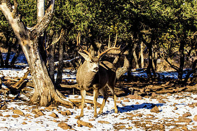 Royalty-Free and Rights-Managed Images - Mule Deer Buck 001197 by Renny Spencer