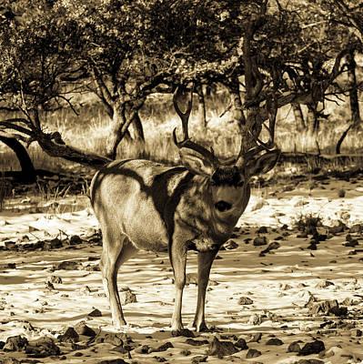 Animals Photos - Mule Deer Buck 001202 by Renny Spencer