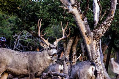 Car Photos Douglas Pittman - Mule Deer Buck 001297 by Renny Spencer