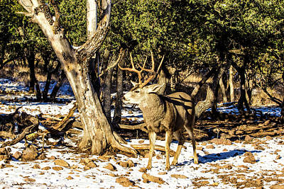 Animals Royalty-Free and Rights-Managed Images - Mule Deer Buck - Attitude 001137 by Renny Spencer