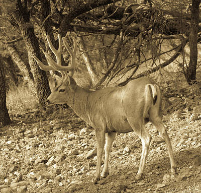 Lucille Ball - Mule Deer Buck in Velvet Antiqued by Renny Spencer