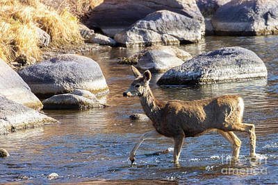 Steven Krull Royalty-Free and Rights-Managed Images - Mule Deer Crossing River by Steven Krull