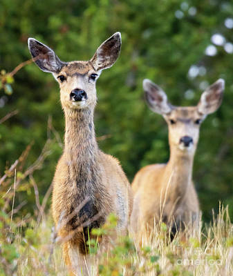 Steven Krull Royalty-Free and Rights-Managed Images - Mule Deer in the Morning by Steven Krull