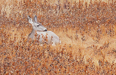 Lori A Cash Royalty-Free and Rights-Managed Images - Mule Deer Sitting in Field by Lori A Cash