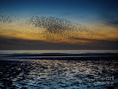 Winter Animals Rights Managed Images - Murmuration Royalty-Free Image by Edmond Terakopian