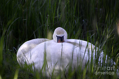 New Years - Mute Swan 9 by Esko Lindell