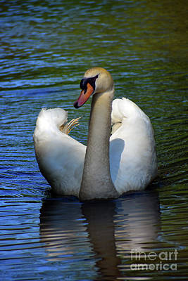 Sean Rights Managed Images - Mute Swan Showing Off Royalty-Free Image by Skip Willits