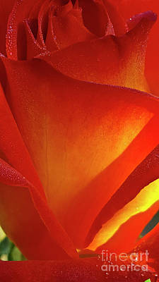 All American - My Rose Muse with Dew by Julieanne Case