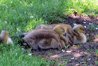 Photograph - Nap time by Jean Evans